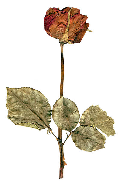 Rose - Dried A dried rose that has been flattened in a book for preservation.  The rose is over 12 years old.  Isolated on white. dried plant stock pictures, royalty-free photos & images