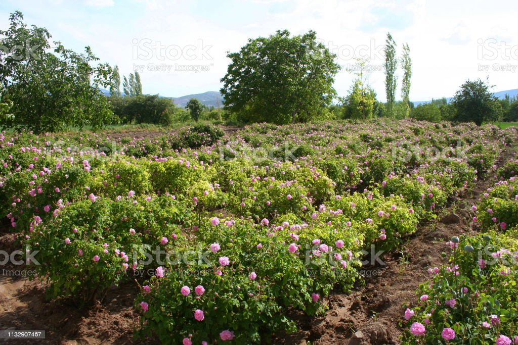 Rose field in ısparta, turkey