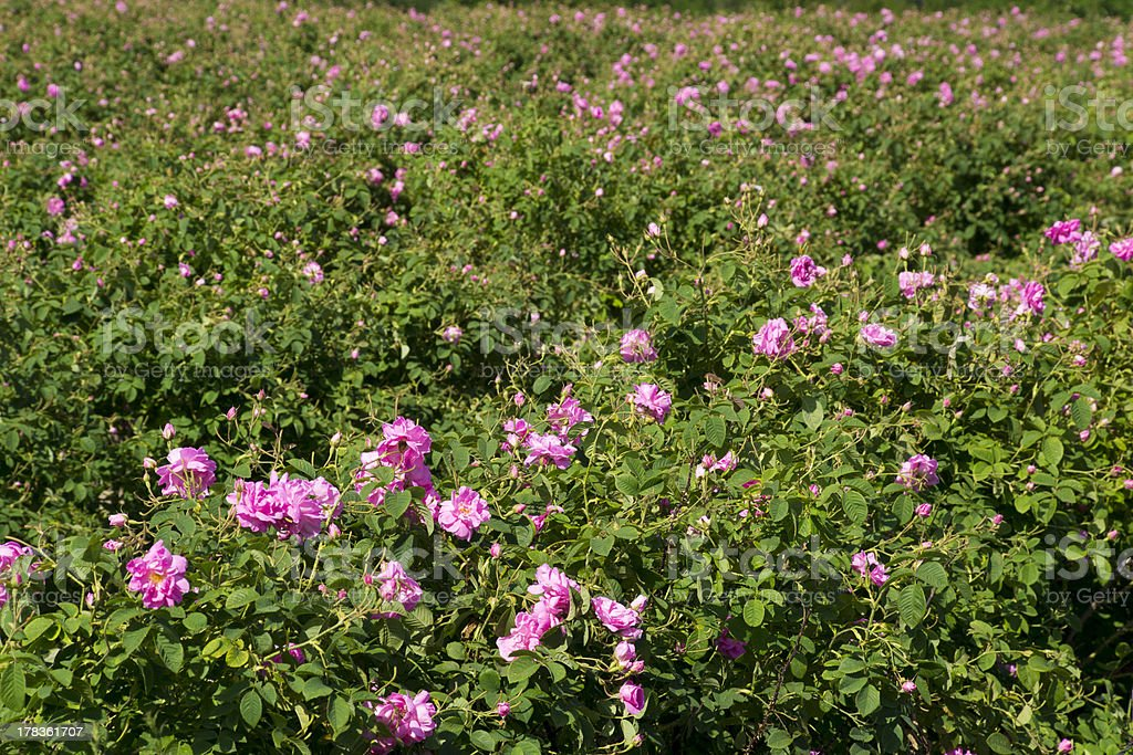 The famouse rose fields in the Tracian Valley near Kazanlak Bulgaria