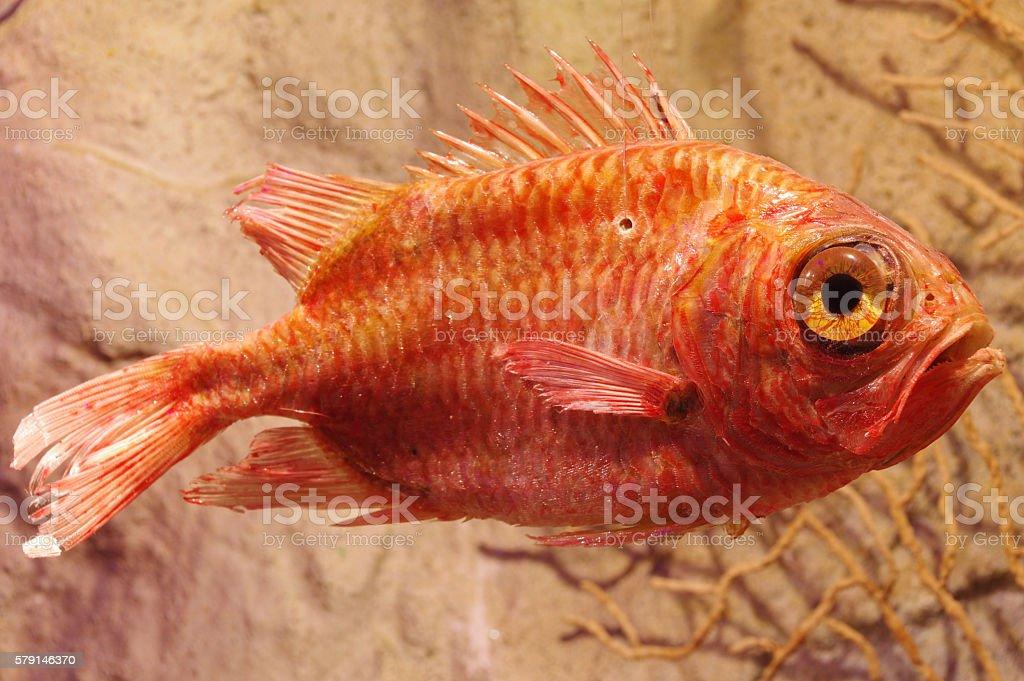 rose fish Sebastes norvegicus taxidermy objects stock photo