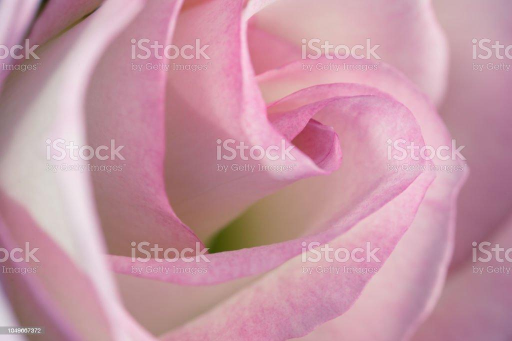Rose Fleur De Couleur Rose Et Blanche De Gros Plan Avec ...
