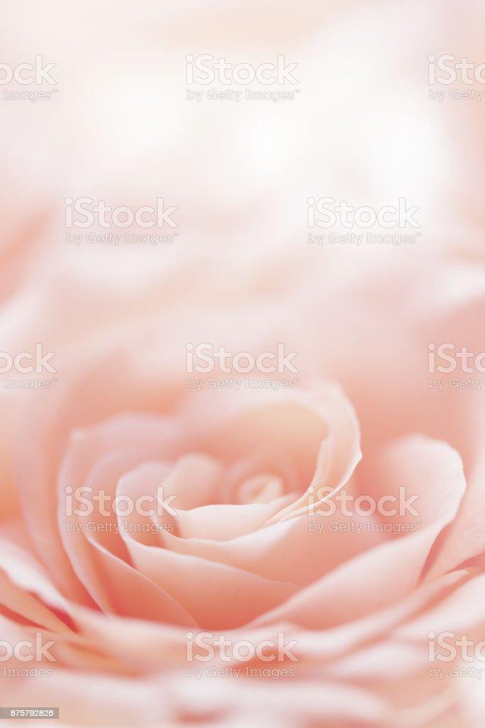 rose flower background royalty-free stock photo