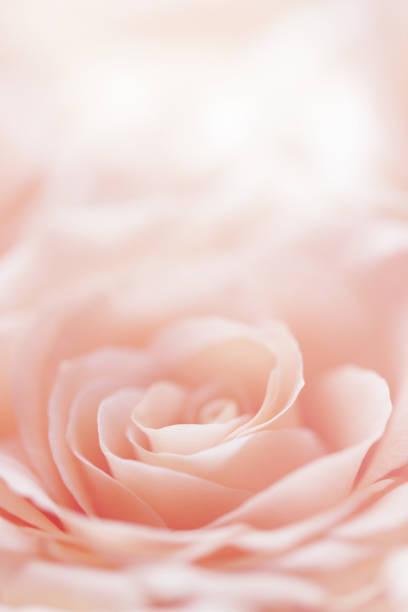 Rose flower background picture id875792826?b=1&k=6&m=875792826&s=612x612&w=0&h=yh5lu1udi4gwtleeqzb guqfu5rv wmbl6wf1gtl7us=