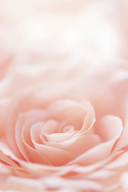 rose flower background stock photo