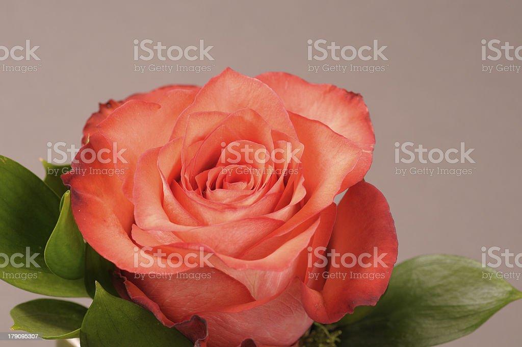 Rose flower decoration royalty-free stock photo