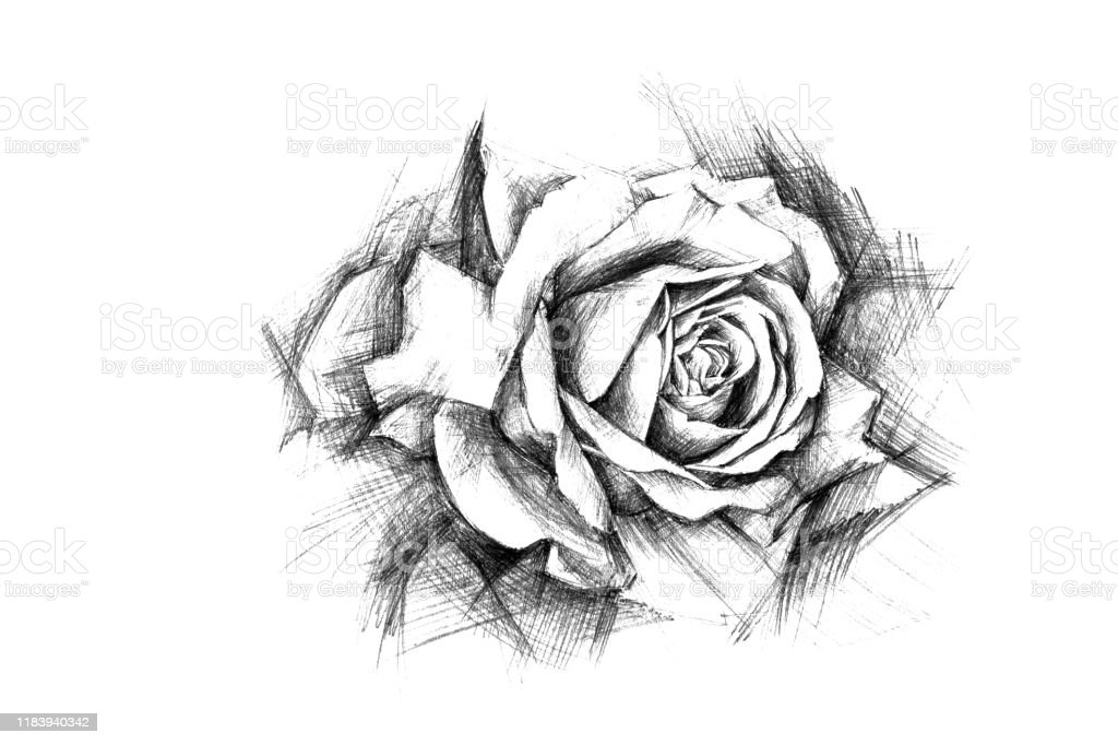 Rose Flower Drawing Simple Pencil On White Paper Drawn By Hand Stock Photo - Download Image Now ...