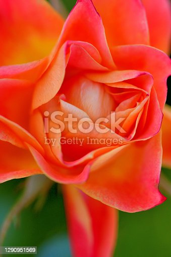 Rose is a perennial flowering plant, which can be erect shrub, climbing or trailing with stems that often have sharp prickles. Flowers vary in size and shape with colors ranging from white, yellow, purple, orange, pink to red. The blooming time is from early summer to fall.