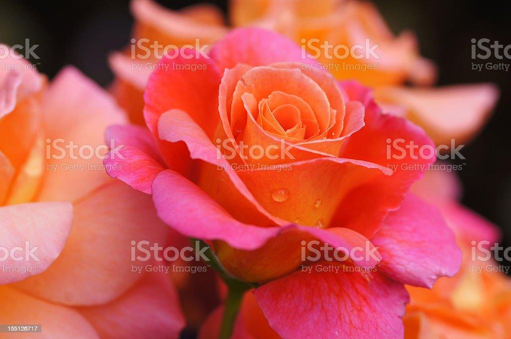 Rose flower Freisinger Morgenröte stock photo