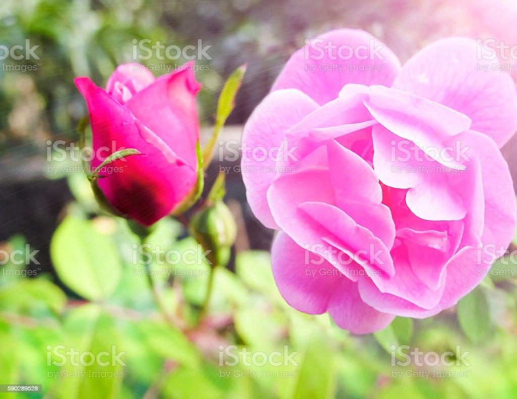 Rose flower from very  close . royaltyfri bildbanksbilder