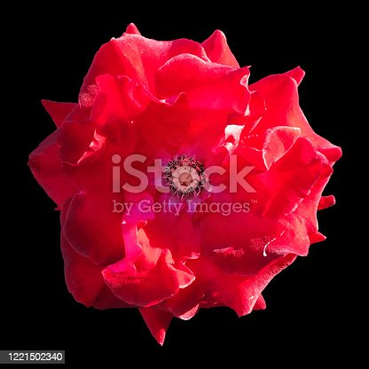 Close-up of red rose flower head stamen structure, Isolated on black background