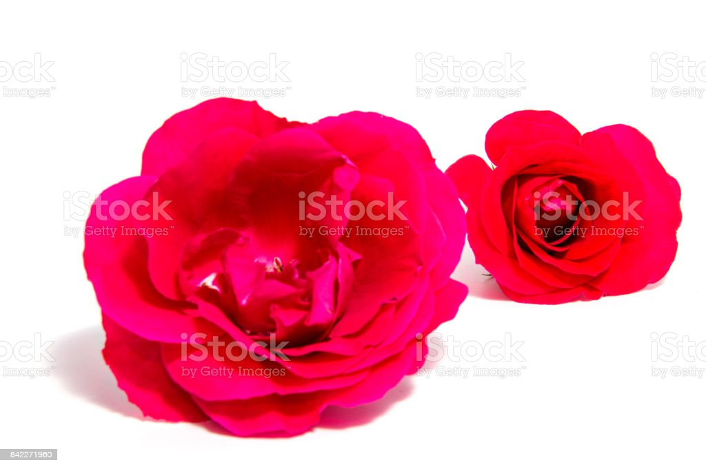 Rose Flower Head Isolated On White Background Cutout Stock