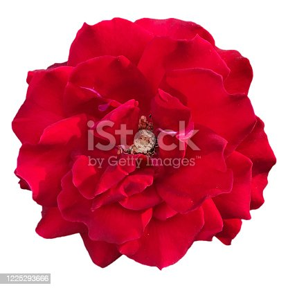 Close-up of red rose flower head stamen structure, Isolated on white background