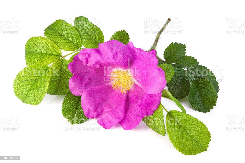 Rose flower - herbal stock photo