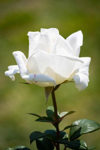 Rose flower in a garden - foto stock