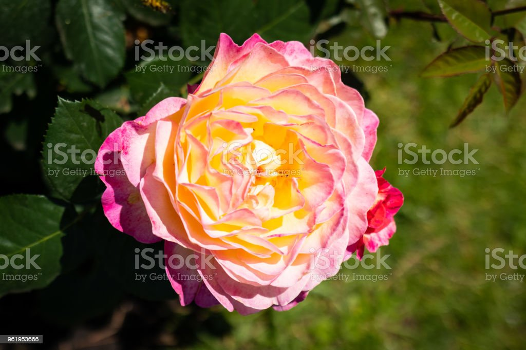 Rose flower in a garden - foto stock