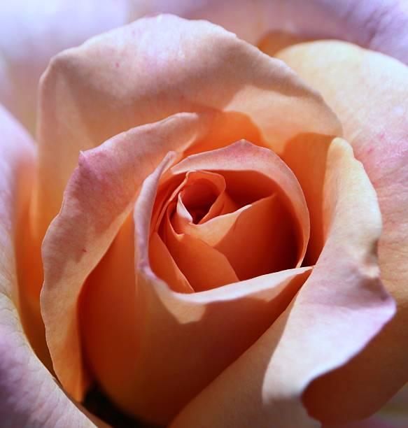 Rose flower inside stock photo