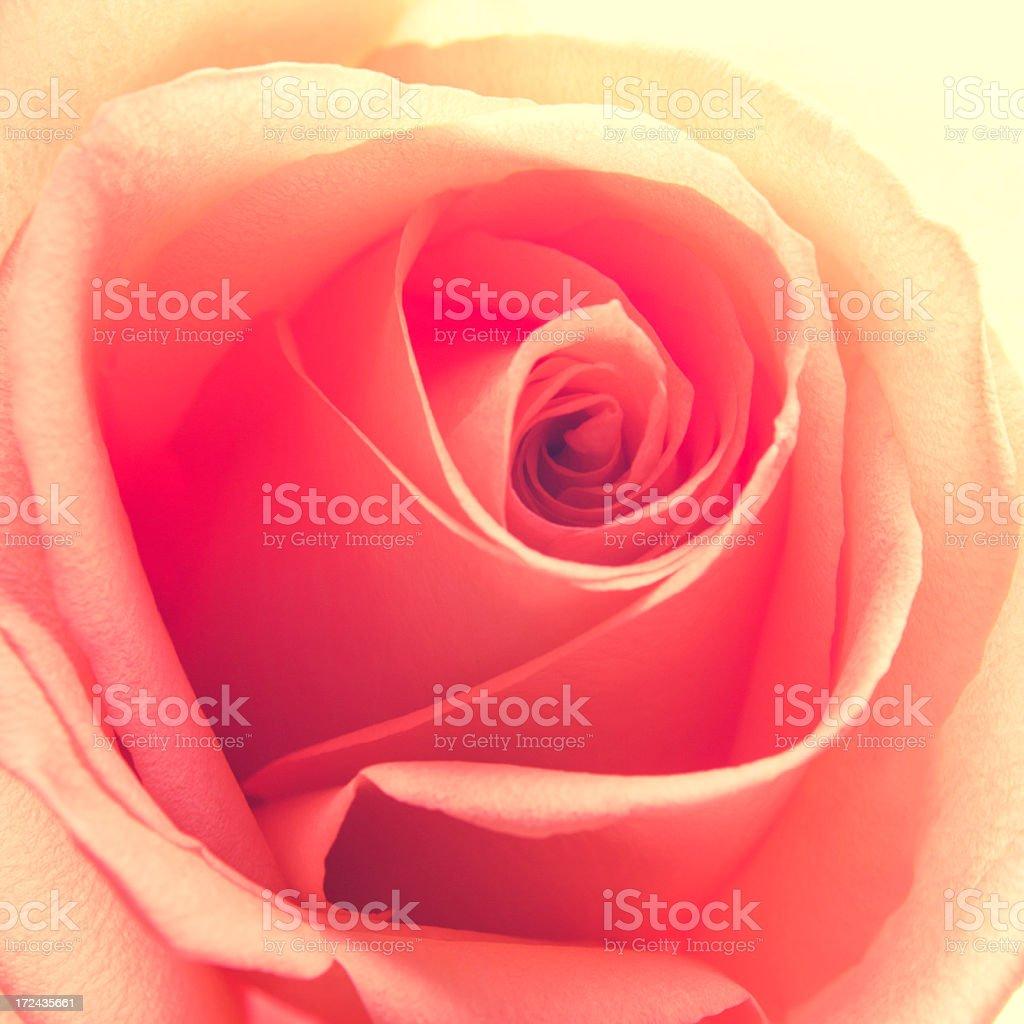 rose flower macro royalty-free stock photo