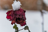 Close View of Red Rose Covered with the Snow. Woody Perennial Flowering Plant of the Genus Rosa, in the Family Rosaceae.