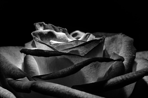 rose flower on black