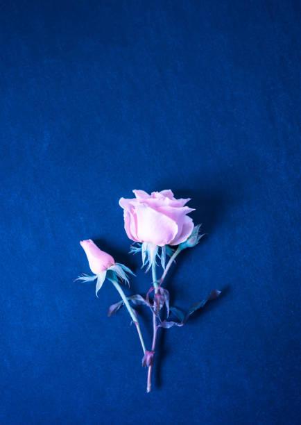 Rose Blume auf Marineblau Hintergrund. Rosa Rosen Top-Ansicht Flach liegen, Kopie randraum. Klassische blaue Floral Hintergrund – Foto