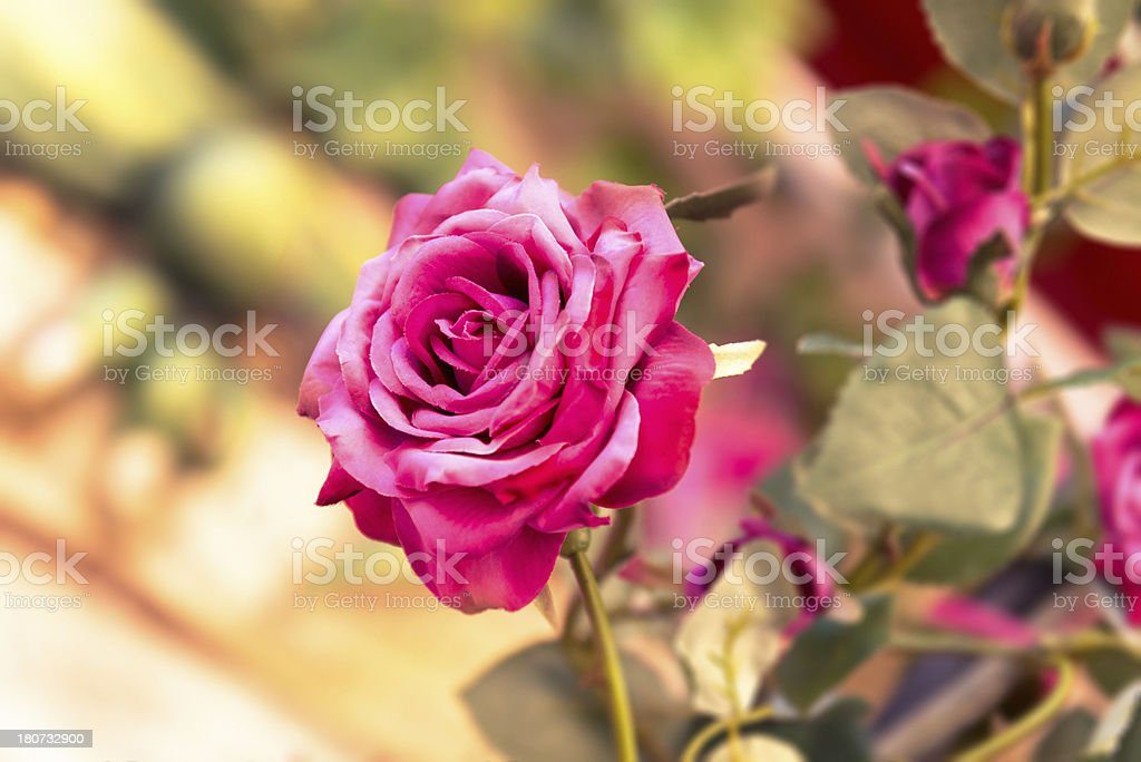 Rose flower on the garden royalty-free stock photo