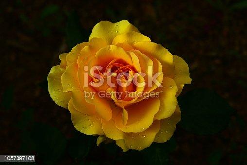 장미꽃의 아름다운 자태 꽃이 필때가 아름답다.