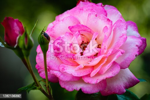 Rose - the collective name of species and varieties of the genus Brier .