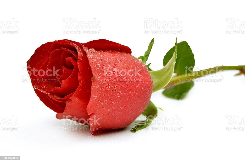 Rose - Flower stock photo