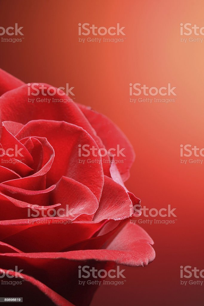 rose flower royalty-free stock photo