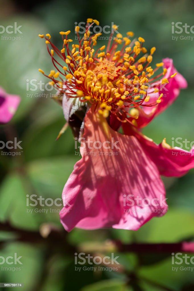 Rose bloem zonder bloemblaadjes in de tuin - Royalty-free Blad Stockfoto