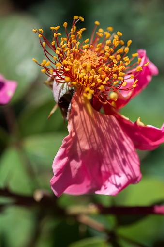 Rose Bloem Zonder Bloemblaadjes In De Tuin Stockfoto en meer beelden van Blad