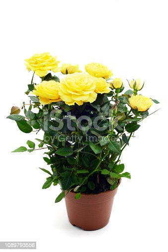 yellow rose flowerpot on white isolated background.
