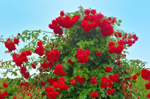 Rose is a perennial flowering plant, which can be erect shrub, climbing or trailing with stems that often have sharp prickles. Flowers vary in size and shape with colors ranging from white, yellow, purple, orange, pink to red. The blooming time is from late spring to fall.