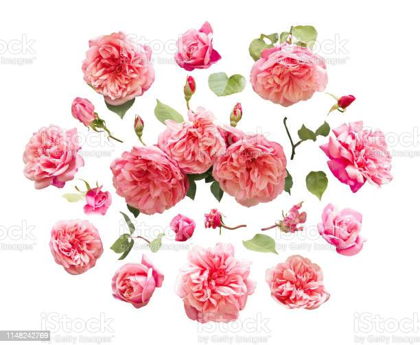 Rose flowers and green leaves isolated on white picture id1148242769?b=1&k=6&m=1148242769&s=612x612&h=vbxtz ac1q8xi4nrrhzlflna6tyo5vmt 2e pxacrmq=