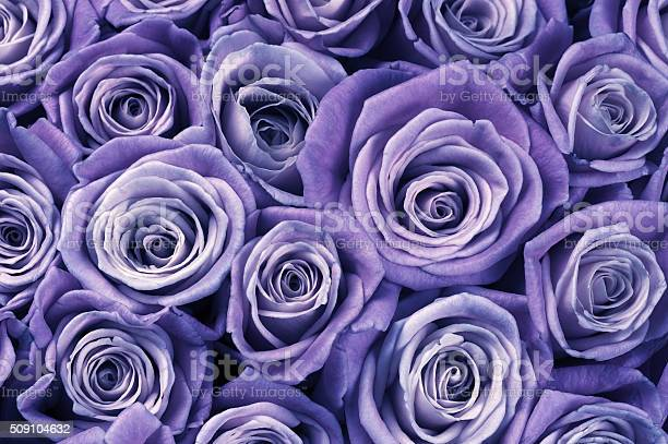 Rose flowers background picture id509104632?b=1&k=6&m=509104632&s=612x612&h=em6hurmfx24hz37xw0wk wulvxwgc9vicapndaqi94a=