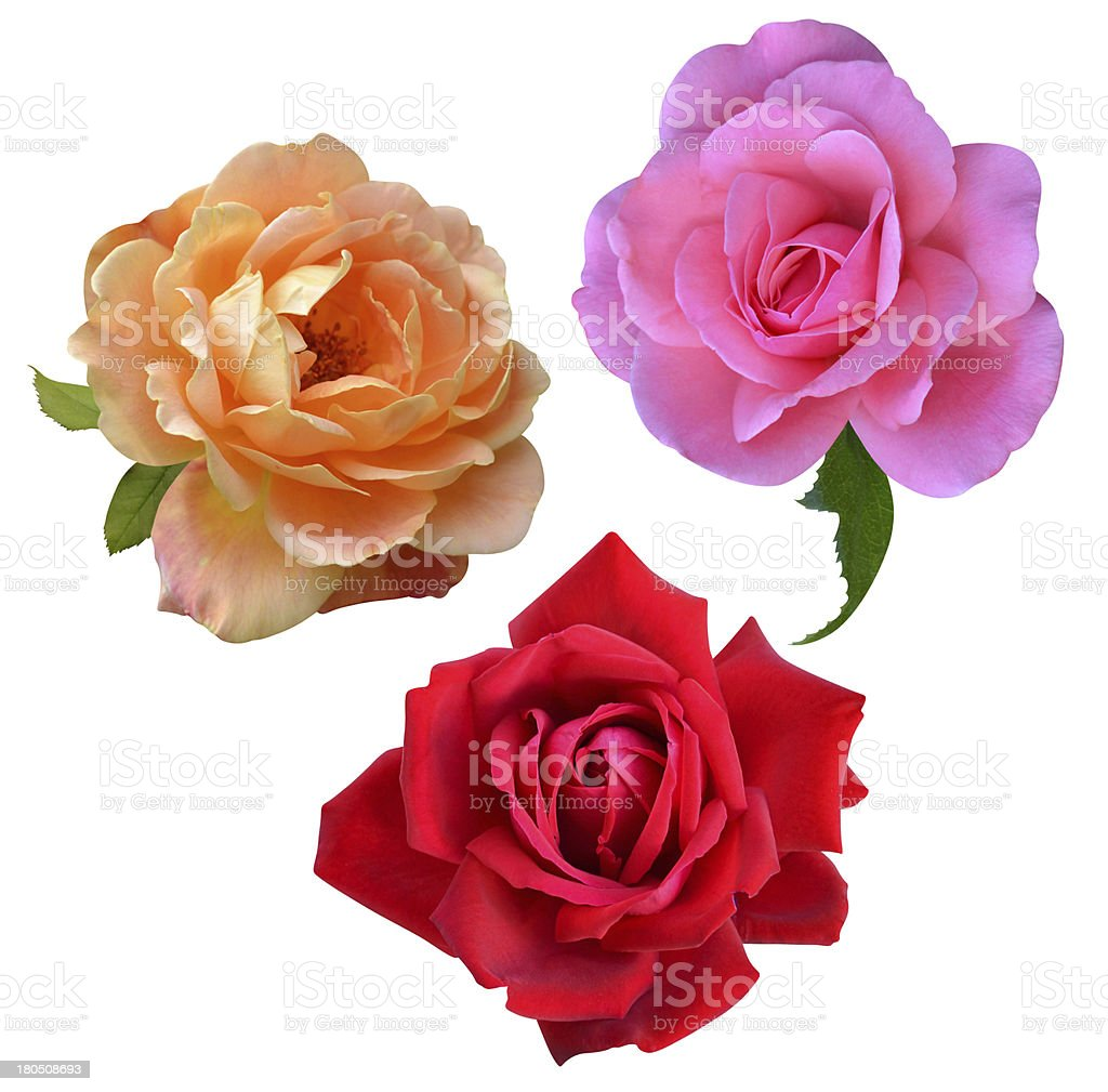rose flowers isolated royalty-free stock photo