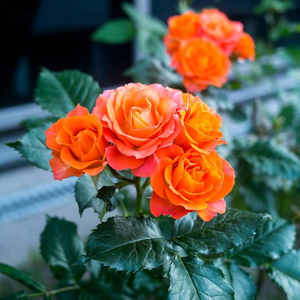 Fleurs Rose - Photo