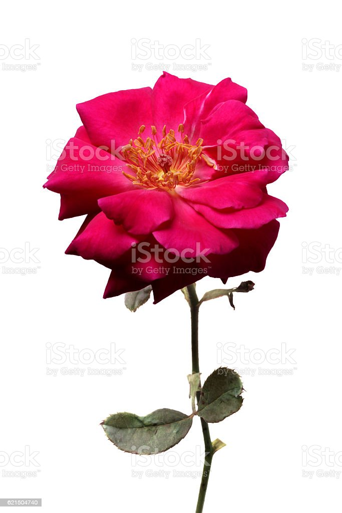Rose flowers twig isolated white Lizenzfreies stock-foto