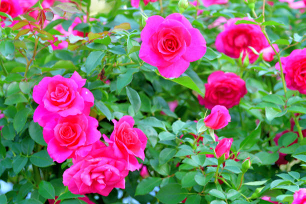 Rose flowers with multicolored background picture id1188638098?b=1&k=6&m=1188638098&s=612x612&w=0&h=u 8skq7btqd5gaxkidxen72fo4abzyuwpjpzngnafcg=