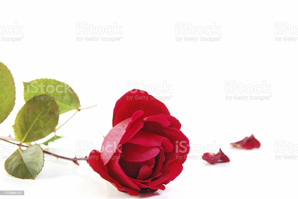 Rose for Mother's Day royalty-free stock photo