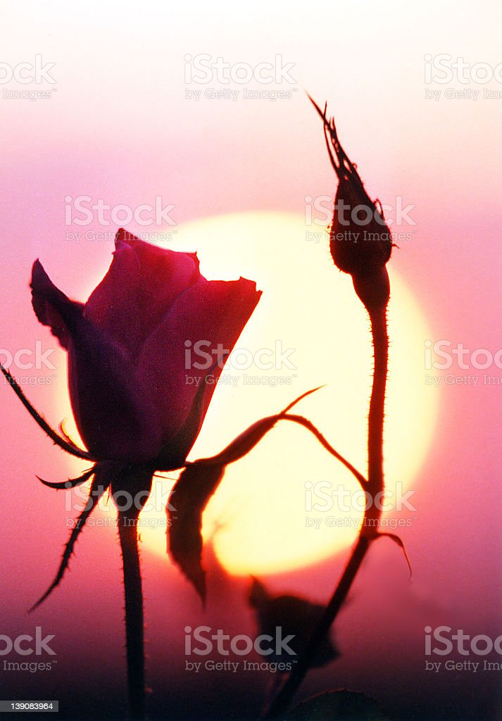 Rose for the Dawn royalty-free stock photo