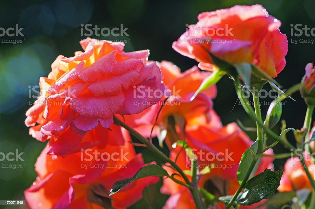 Rose Freisinger Morgenröte stock photo