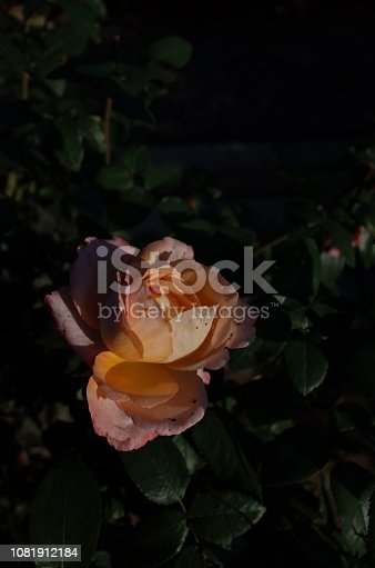 1082914626 istock photo Rose 'Frohsinn'82' - Light Cream and Faint Red 1081912184
