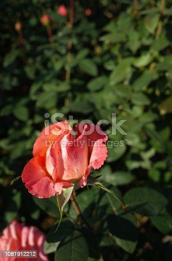 1082914626 istock photo Rose 'Frohsinn'82' - Light Cream and Faint Red 1081912212