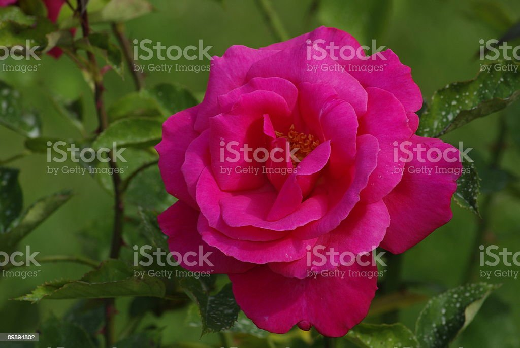 Rose from the garden royalty-free stock photo