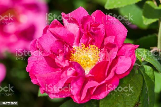 Rose gallica var officinali picture id994783680?b=1&k=6&m=994783680&s=612x612&h=adkbpgfigwuxnsgkw55mnt4fydcgqtqqy3roa5sxs40=