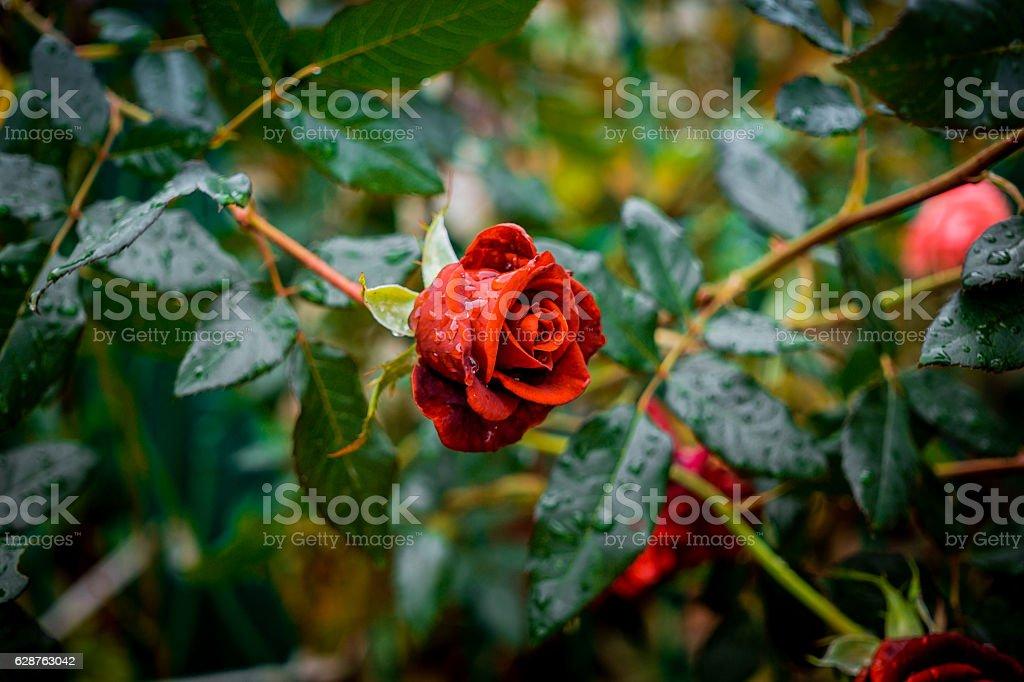 Rose garden after the autumn rain stock photo