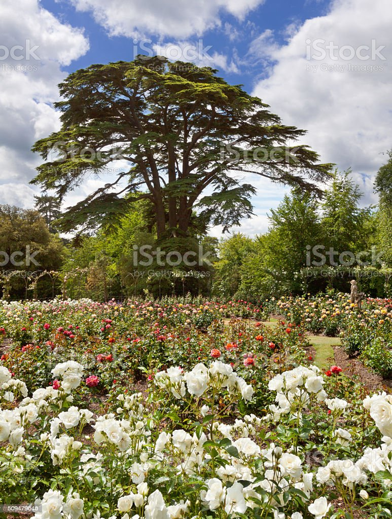 Rose Garden at Blenheim Palace, Woodstock, Oxfordshire, England, United Kingdom. stock photo