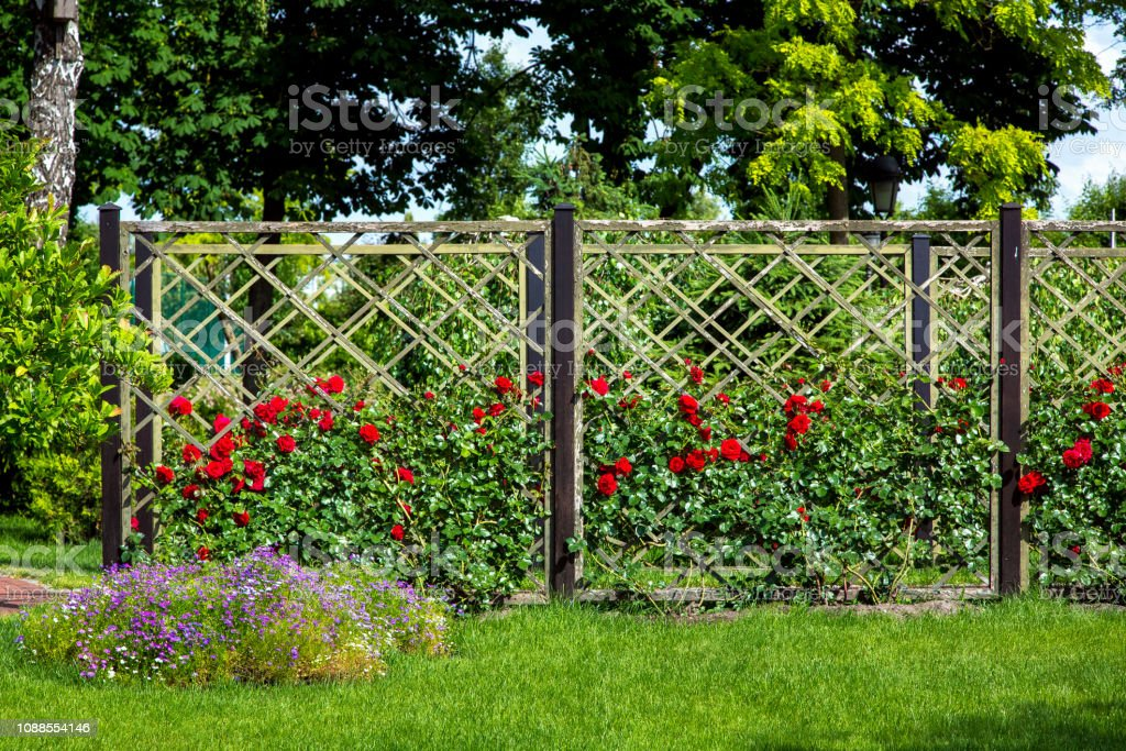 rose garden of red roses planted and growing on a wooden fence in the...