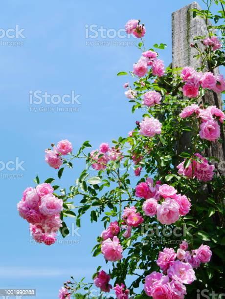 Rose garden picture id1001990288?b=1&k=6&m=1001990288&s=612x612&h=drywn71znl pgdx otbmedstl615jxxzgdf9np n3ca=